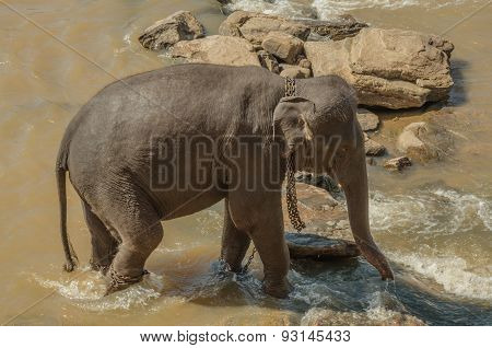 Elephants Bathe