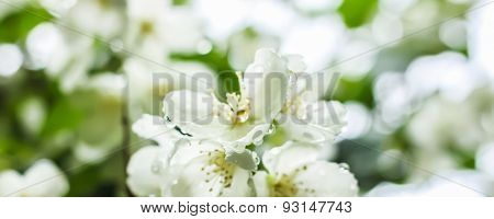 White Flowers With Dew Drops