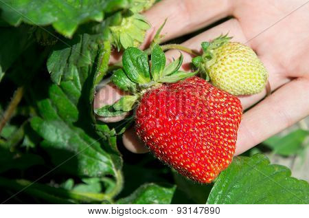 Big Ripe Strawberry On The Hand