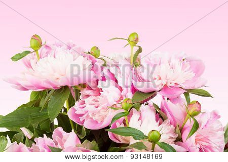 Bouquet Of Pink Peonies On A Pink Gradient Background