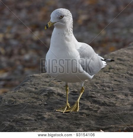 The Shy Modest Gull
