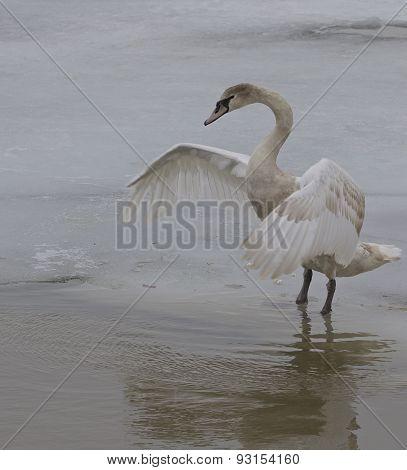 The Swan's Hug