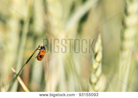 Pest On The Wheat Field