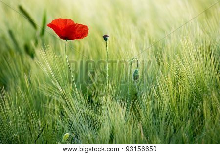 Sunlit red poppy on a background of a wheat field