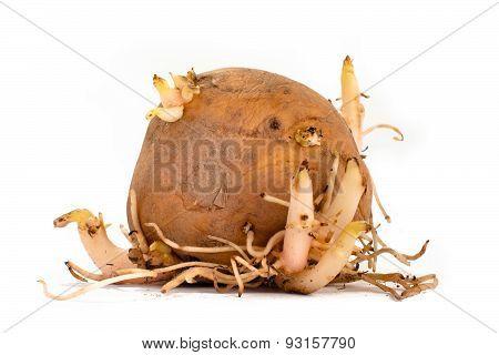 Germinating Potato Tuber On White Background