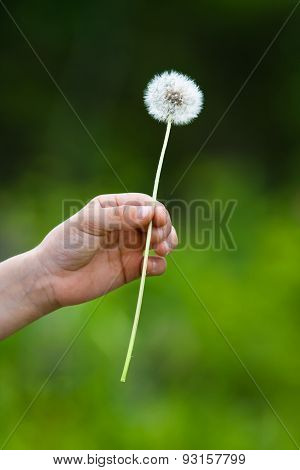Hand Holding A Dandelion On Blurred Background