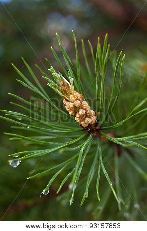 Pine Branch With Strobile