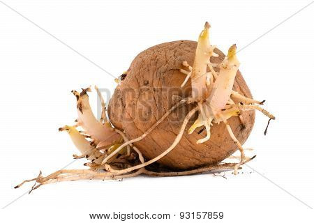 Potato Tuber With Sprouts And Roots