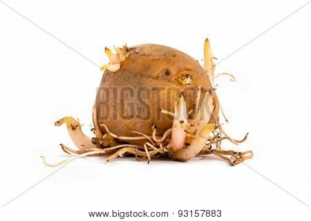 Potato With Sprouts And Roots On White Background