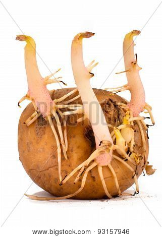 Sprouted Potato On White Background
