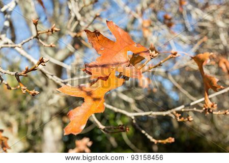 Golden autumn leaves on deciduous tree