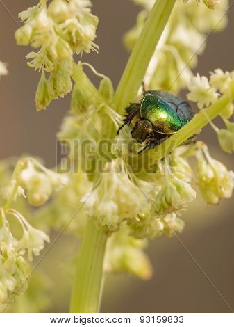 Beautiful Green Beetle