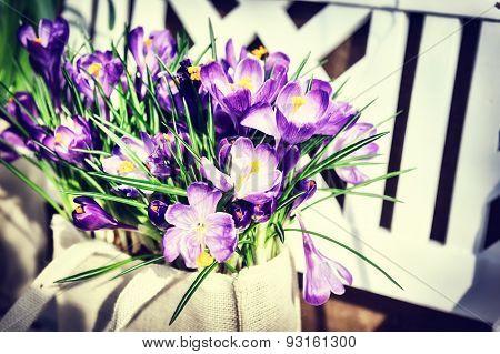 Pretty Purple Crocuses