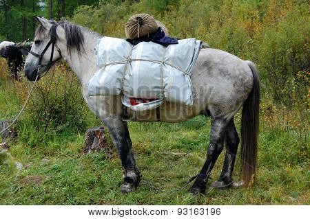 Loaded horse is ready to hit the road. Buriat horse breed.