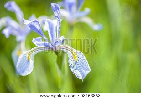 Lavendar Irises