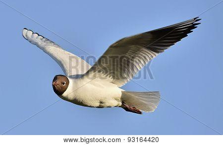 Adult Black-headed Gulls In Flight,