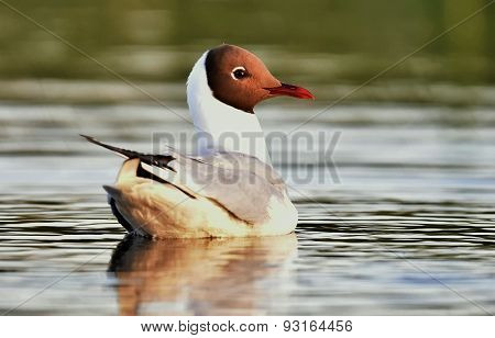 Swimming Black-headed Gull