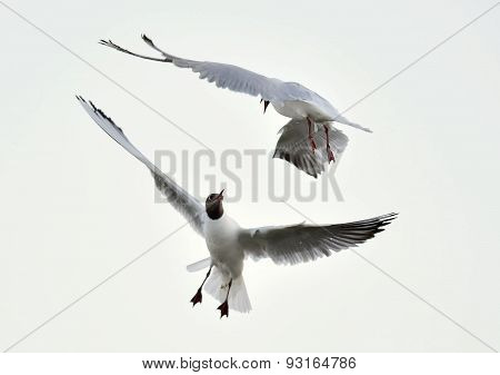 Adult Black-headed Gulls In Fight,