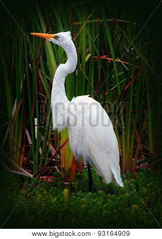 Great Egret Bird (White Heron)