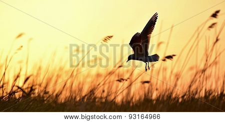 Black-headed Gull (larus Ridibundus) On Sunset Background