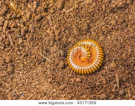 Tropical Spiral Insect, Millipede