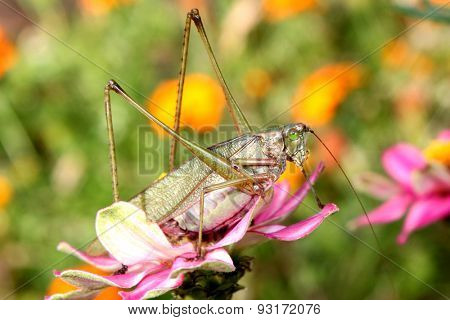 Large grasshopper on pink zinnia