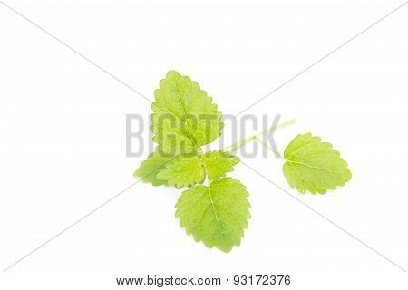 Fresh Balm With Dew Isolated On White Background.