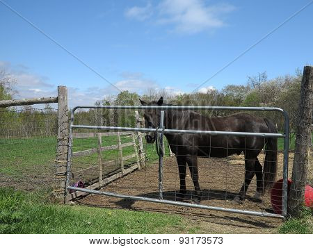 Black horse in livestock pen posing for camera