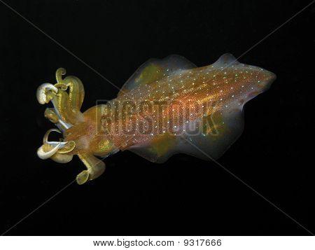 Caribbean Reef Squid In Dominica