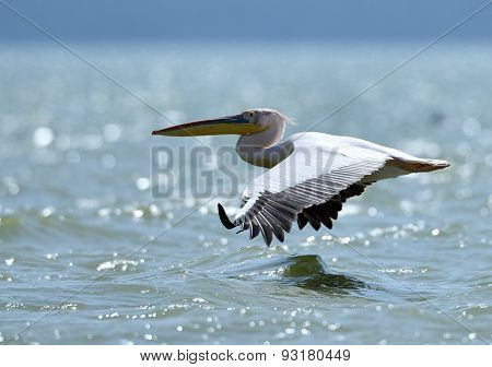 pelican (pelecanus onocrotalus) on the lake