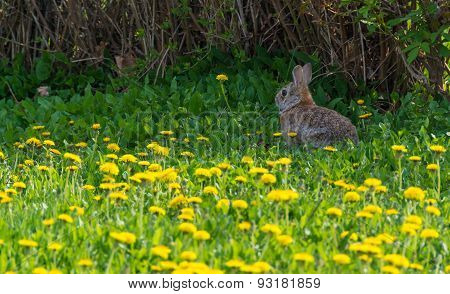 Wild Rabbit or Bunny in Dandelions Gardens