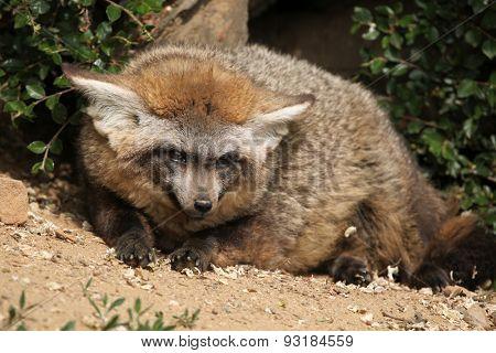 Bat-eared fox (Otocyon megalotis). Wildlife animal.