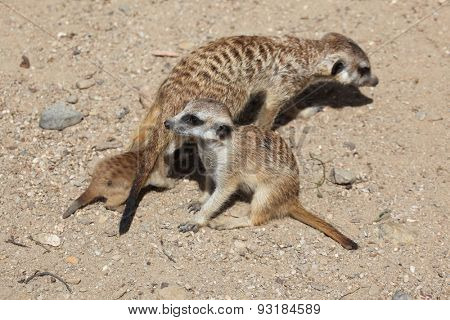 Meerkat (Suricata suricatta), also known as the suricate with two babies. Wildlife animal.