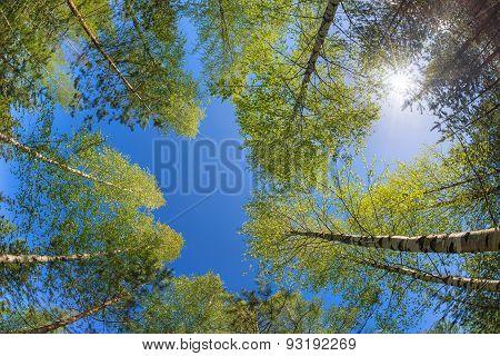Tree Tops Against Blue Sky