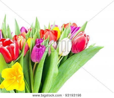 Tulips on white background