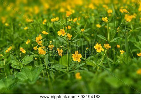 Buttercups Flowers Meadow