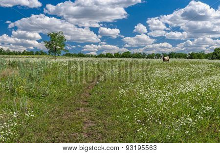 June landscape with wild camomile field and lonely cow