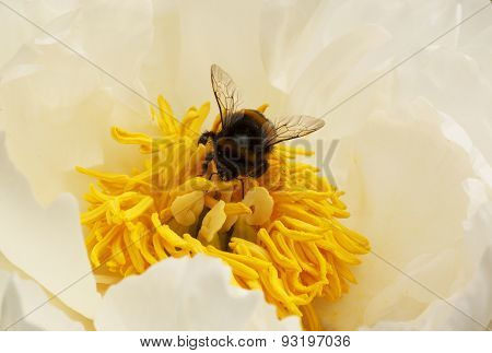 Bumblebee Inside White Peony
