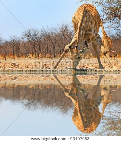 Isolated Giraffe bending over to drink