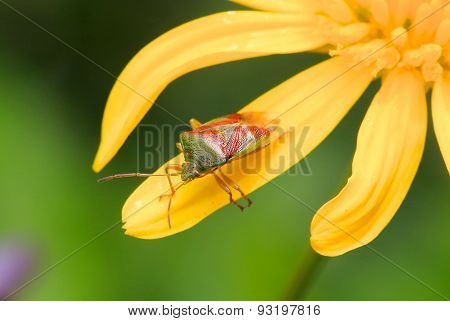 A Nymph Shield Bug on a yellow flower petal
