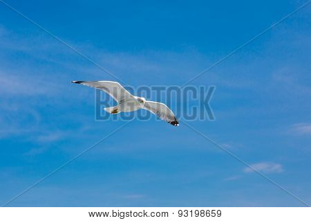 Fish Seagull Flying In The Blue Sky And Looking At Camera. Place For Text