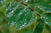 stock photo of rain-drop  - Rain drops are still on leaves after a showering.