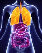 picture of respiratory disease  - Human Respiratory System Illustration  - JPG