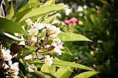 image of frangipani  - Frangipani or plumeria commonly used for decorate dwellings - JPG