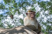 picture of macaque  - Monkeys in the wild Macaca Sylvanus Barbary Macaque - JPG