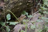 pic of chipmunks  - The curious cute little chipmunk is looking at you - JPG