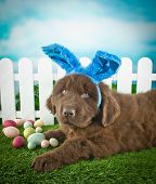 image of easter eggs bunny  - Silly Newfoundland puppy wearing Easter bunny ears laying in the grass outdoors with Easter eggs around him - JPG