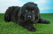 image of newfoundland puppy  - Cute little Newfoundland puppy laying in the grass outdoors with a blue sky behind her - JPG