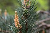 pic of pinus  - Male Flowers of a Scots Pine (Pinus sylvestris) ** Note: Visible grain at 100%, best at smaller sizes - JPG