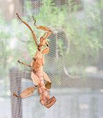 stock photo of stick-bugs  - image of Macleay - JPG
